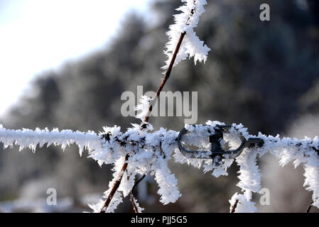 frosted iron wire and vine branch,Alsace,France - Stock Image