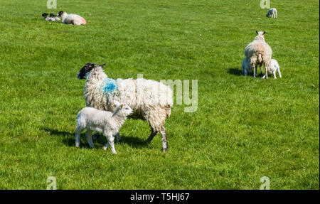 Lambing time in the Kentmere Valley Lake District National Park Cumbria on a bright sunny Spring day - Stock Image