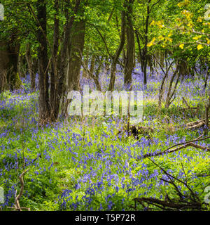 English woodland scene in spring sunshine with fresh new leaves and indigenous bluebells carpeting the floor. - Stock Image