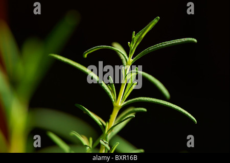 Close-up of rosemary growing - Stock Image