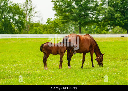 Mare and foal on a Kentucky horse farm - Stock Image