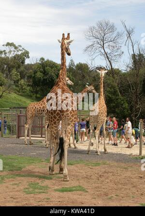 A family of giraffes watching visitors at the Werribee Open Range Zoo, Melbourne, Australia. - Stock Image