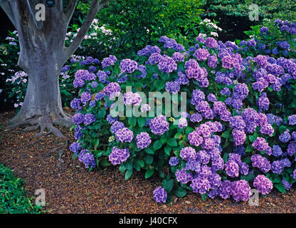The garden in summer with display of colourful Hydrangeas - Stock Image