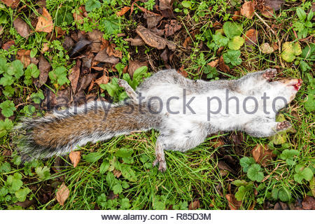 Grey Squirrel UK. Sciurus carolinensis lying on its back with its feet in the air, dead. - Stock Image