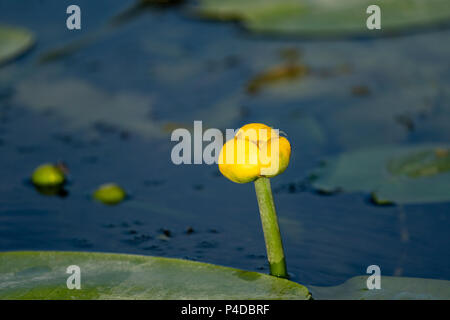 Small Yellow Lotus floating on blue water in Danube Delta, Europe - Stock Image