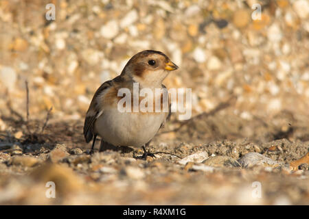 Snow bunting female (Plectrophenax nivalis) foraging on the shingle beach at Hill Head near Fareham, Hampshire, UK in November - Stock Image