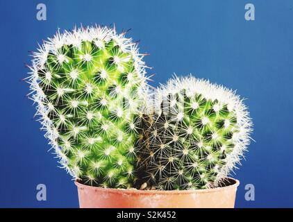 A close up of a prickly cactus potted plant on a blue background with copy space - Stock Image
