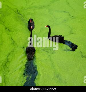Black swans - Stock Image
