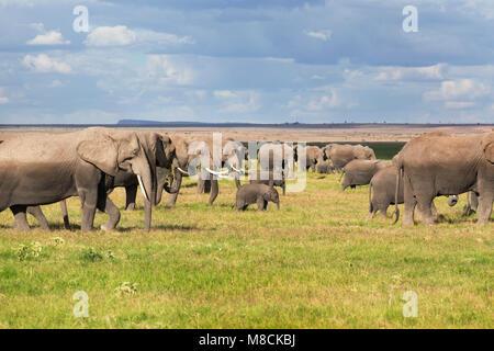 Herd of African Elephants grazing on open grassland in Amboseli National Park, Kenya - Stock Image