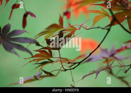 Acer Palmatum Bloodgood - gorgeous autumn colours  Jane Ann Butler Photography  JABP1835 - Stock Image
