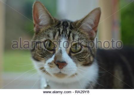 Closeup portrait of a domestic cat - Stock Image