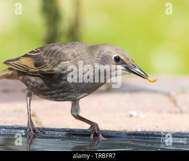 Detailed close-up side view of wild juvenile British starling bird (Sturnus vulgaris) isolated in outdoor UK garden habitat, perched, mealworm in beak. - Stock Image