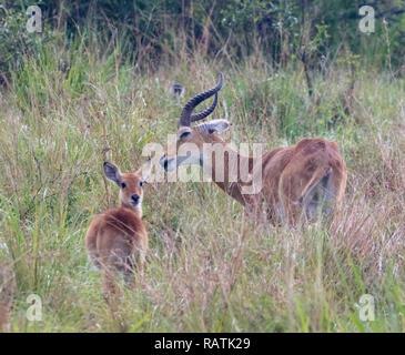 male Ugandan kob with young female (Kobus kob thomasi), a type of antelope, Queen Elizabeth Park, Uganda, Africa - Stock Image