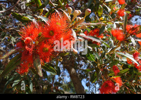 Orange flowering gum (Corymbia ficifolia), Launceston, Tasmania, Australia - Stock Image