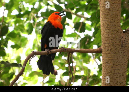 South American Scarlet or Orange headed Blackbird (Amblyramphus holosericeus) in a tree. - Stock Image