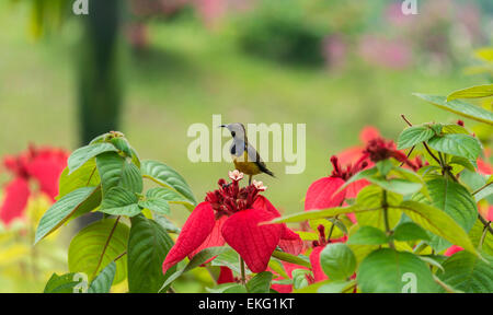 olive backed sunbird Cinnyris jugularis, fedding on flowers, Singapore - Stock Image