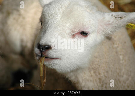 White lamb eating hay - Stock Image