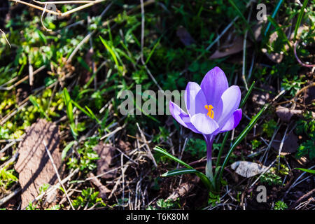 A light purple newly blossomed crocus in dappled springtime sunshine on a bed of wood chips among the previous autumns leaflitter - Stock Image