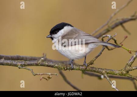 Marsh titmouse, Poecile palustris, Sumpfmeise (Poecile palustris) - Stock Image