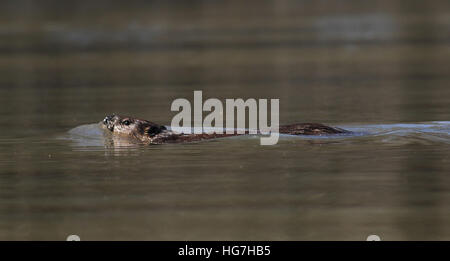 American beaver swimming Ohio river - Stock Image