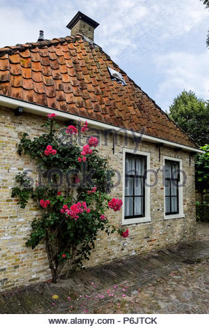 Rose bush grows on the side of a house in the village of Bourtange, the star-shaped fortress in Groningen Province, The Netherlands. - Stock Image