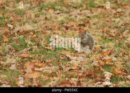 Squirrel sat  on autumn leaves, eating. Sciurus carolinensis - Stock Image