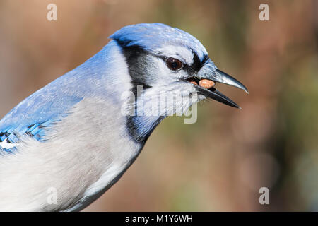 Blue Jay Eating Peanut - Stock Image