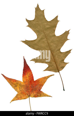 Two autumn leaves carved on a white background. - Stock Image