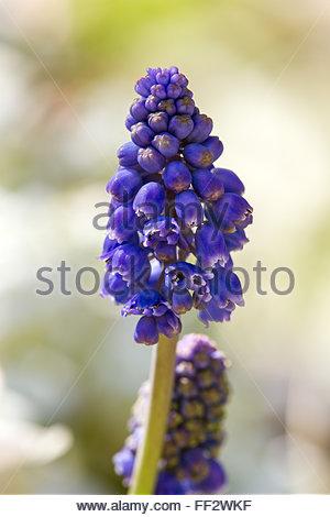 Muscari neglectum - grape hyacinths - Stock Image