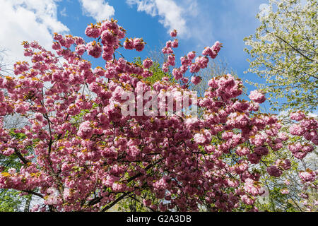 Cherry blossom , Kreuzberg, Berlin , Germany - Stock Image