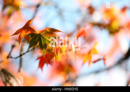 stunning autumn leaves changing colour, blue sky and sunshine Jane Ann Butler Photography  JABP1826 - Stock Image