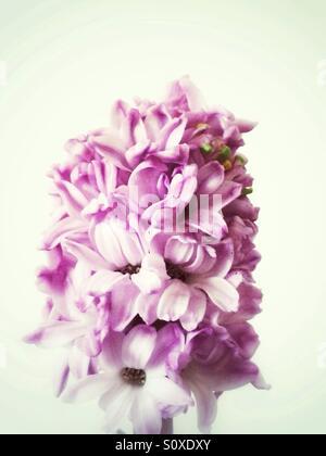 Pink hyacinth flowers - Stock Image
