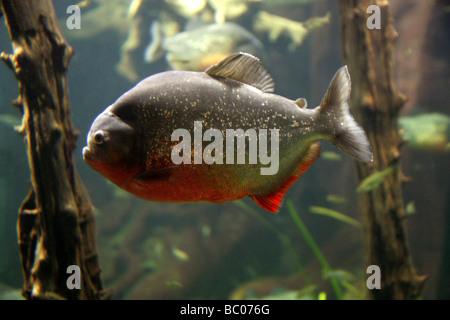 Red-bellied Piranha, Pygocentrus nattereri, South American Freshwater Fish. - Stock Image