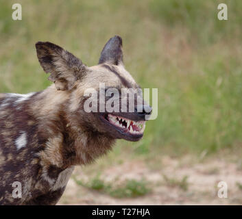 Side Head shot of African Wild Dog, with mouth open baring menacing teeth - Stock Image