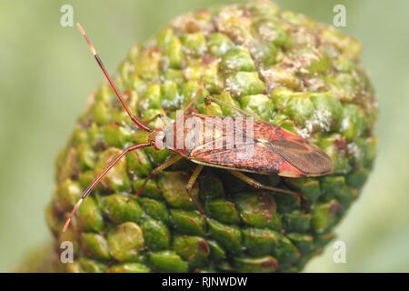 Mirid Bug (Pantilius tunicatus) resting on alder catkin. Tipperary, Ireland - Stock Image