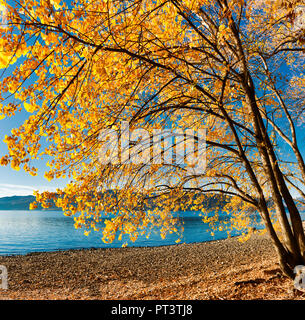 tree with autumn colors on the lake beach and clear blue sky in background - Stock Image