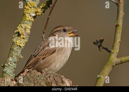 Female European House Sparrow (Passer domesticus) perched in tree - Stock Image
