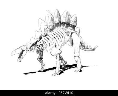 Dinosaurier Stegosaurus Skelett / dinosaur  Stegosaurus skeleton - Stock Image