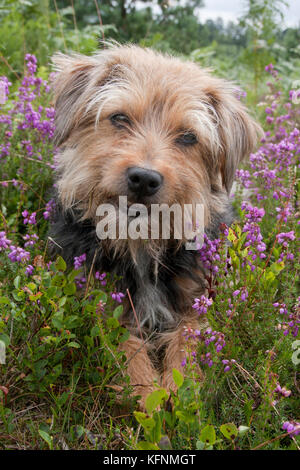 Terrier mongrel sitting among heather, Devils Punchbowl, Hindhead, Surrey - Stock Image