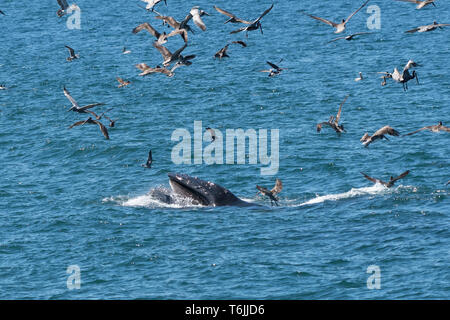 Humpback whale (Megaptera novaeangliae) feeding with a mouthful of fish while a flock of brown pelicans fly overhead in Baja California, Mexico. - Stock Image