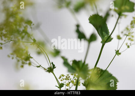 alchemilla mollis 'robustica' commonly known as lady's mantle - a herbal remedy Jane Ann Butler Photography - Stock Image