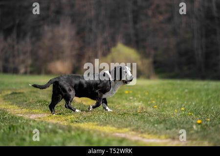A black and white basset dog outside - Stock Image