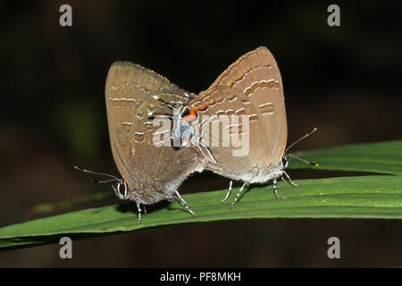 A pair of mating hairstreak butterflies on a leaf. - Stock Image