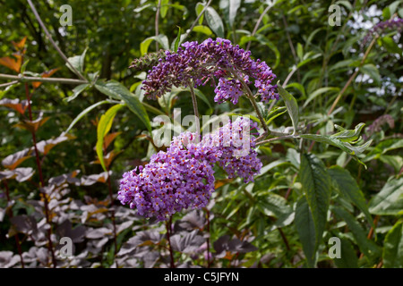 Vibrant lilac Buddlia also known as the Butterfly Bush. - Stock Image