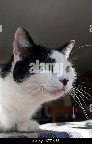 black and white tom cat sitting on table - Stock Image