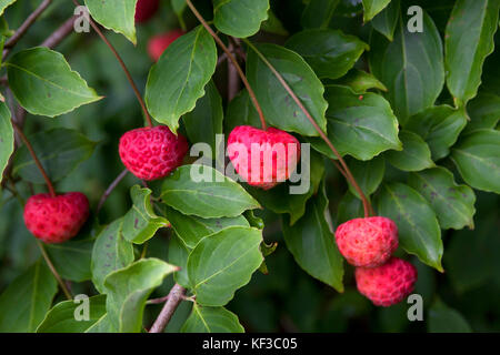 wild strawberry tree, Winkworth Arboretum, Surrey, England - Stock Image