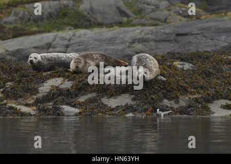 Group of common seals or harbour seals (Phoca vitulina) hauled out on island in sea loch and watching passing oystercatcher, - Stock Image