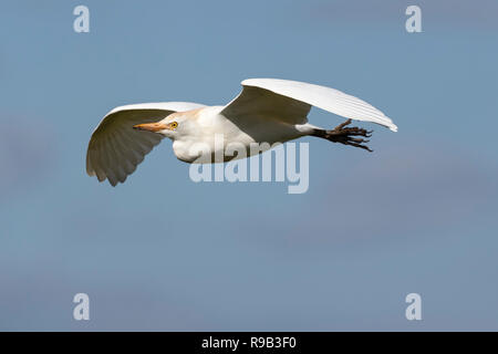 Western cattle egret (Bubulcus ibis) in flight, Addo Elephant national park, Eastern Cape, South Africa - Stock Image