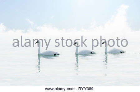 Trumpeter swans Cygnus buccinator on a clean clear pristine white winter foggy day in Lake Ontario Toronto Ontario Canada - Stock Image