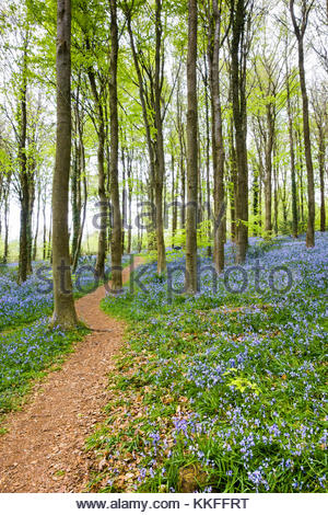 Woodland path through bluebells in Cefn Coed wood, Powys, Wales, UK - Stock Image